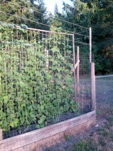 Pole beans on trellis